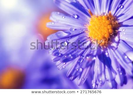 Sok gyönyörű százszorszépek kert lila százszorszép Stock fotó © elly_l