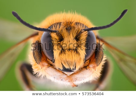 bee on yellow flower in extreme close up stock photo © gewoldi