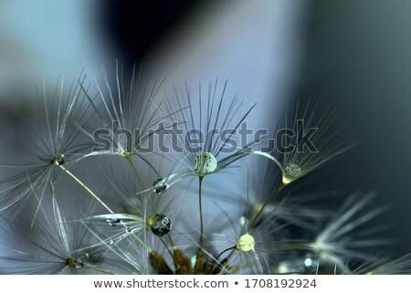 puszysty · makro · Dandelion · czarny · kopia · przestrzeń · tekst - zdjęcia stock © smithore