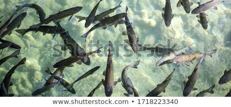 swarm of Trouts Stock photo © prill