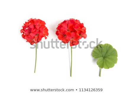 Summer garden with blooming red geranium Stock photo © Julietphotography