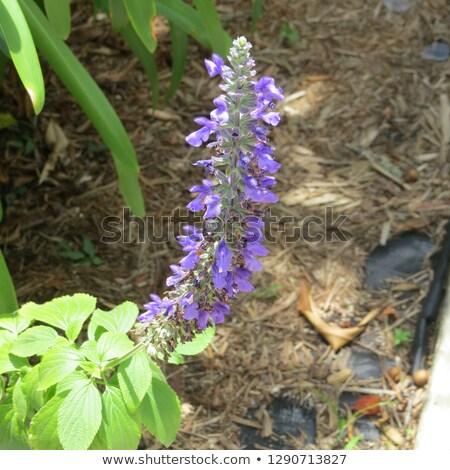 swaying wild lavender Stock photo © morrbyte