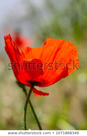 Backlit Poppy Stock photo © KMWPhotography