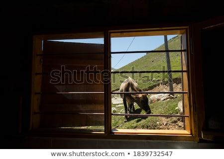 fekete · tehén · közelkép · farm · mezőgazdasági · ipar - stock fotó © lunamarina