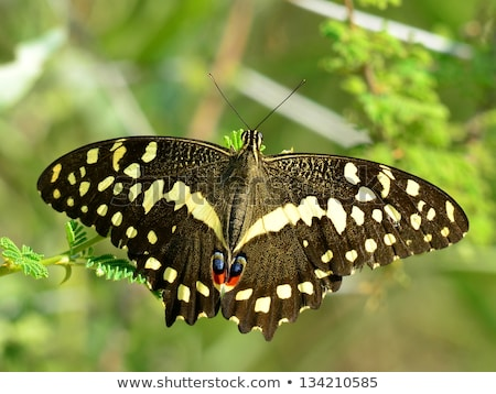 Citrus Swallowtail (Papilio demodocus) Stock photo © dirkr