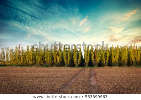 landscape with hops garden czech republic stock photo © phbcz