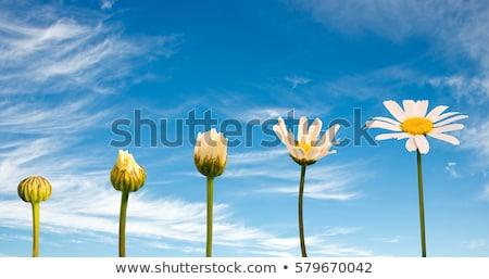 Papatya çiçek kafa sığ odak çoklu Stok fotoğraf © sarahdoow