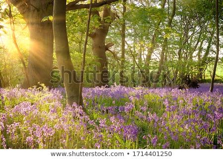 tapete · azul · flores · primavera · floresta · panorama - foto stock © chris2766