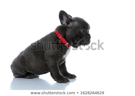 side view of a cute little french bulldog puppy stock photo © feedough