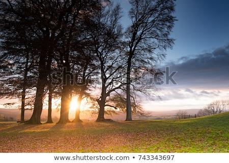 Bare tree at sunset Stock photo © olandsfokus