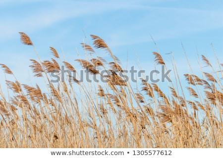 Common reed background Stock photo © Arrxxx