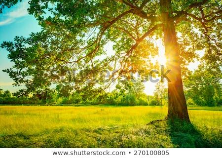 太陽 木 森林 ツリー 緑 日の出 ストックフォト © enricoagostoni