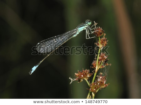 Blue-tailed damselfly (ischnura Elegans) Stock photo © Rosemarie_Kappler