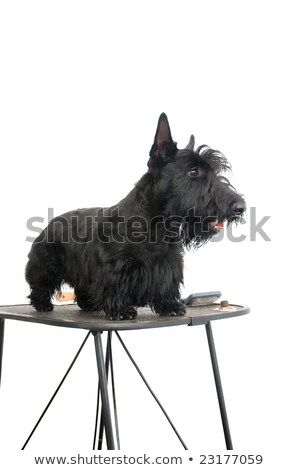purebred scottish terrier on grooming table stock photo © cynoclub