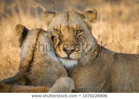 Kötődés park Dél-Afrika állatok oroszlán fotózás Stock fotó © simoneeman