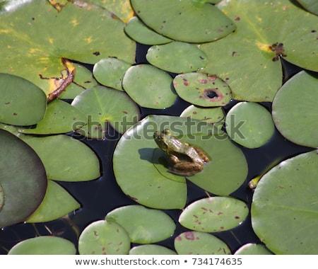 座って 沼 カエル 動物 屋外 野生動物 ストックフォト © brm1949