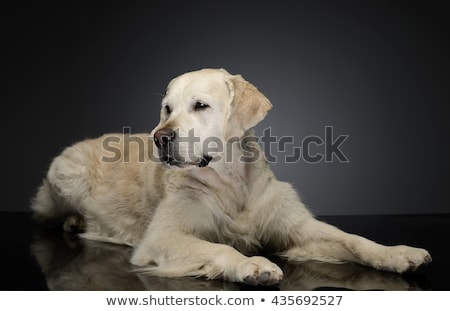 Gelukkig labrador retriever grijs foto studio schoonheid Stockfoto © vauvau