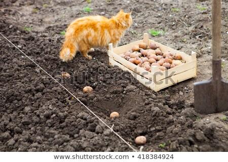 赤 猫 プロセス ジャガイモ フィールド ストックフォト © Yatsenko