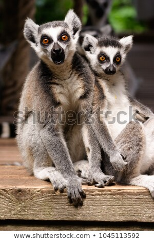 Two lemurs in the zoo Stock photo © bluering