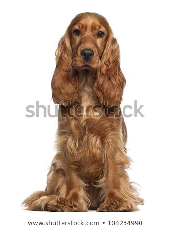 Cocker spaniel dog against white background Stock photo © ozgur