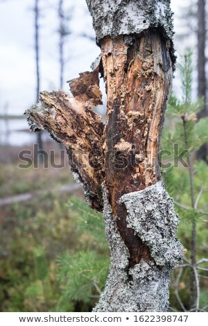 Rotten birch trunks in ridge forest Stock photo © Mps197