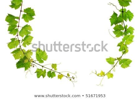 Fresh shoots of vine Stock photo © lithian
