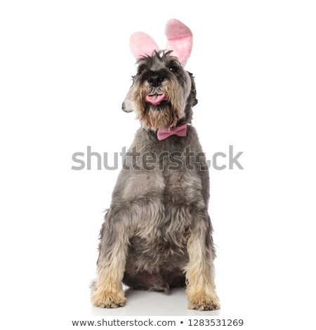 classy schnauzer wearing pink rabbit ears headband sits and pant Stock photo © feedough