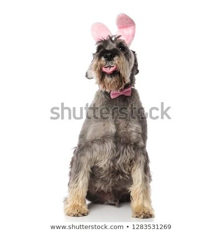 classy schnauzer wearing pink rabbit ears headband sits and pant stock photo © feedough
