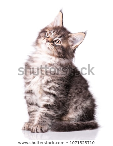two Tabby with white Maine Coon kittens stock photo © CatchyImages