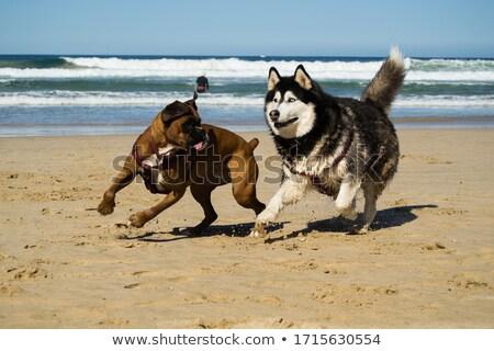 Husky · щенков · месяцев · старые · собака · красоту - Сток-фото © marinini