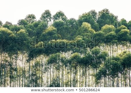 Row of trees in the sun stock photo © duoduo