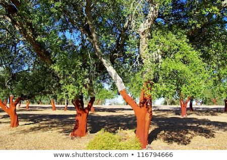 Mediterranic forest at Portugal Stock photo © inaquim