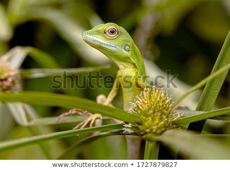 verde · lagarto · tropical · macro · naturalismo · Malásia - foto stock © smithore