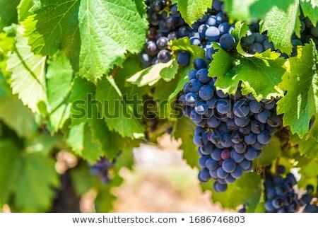 Sunny black vineyard Stock photo © Elenarts