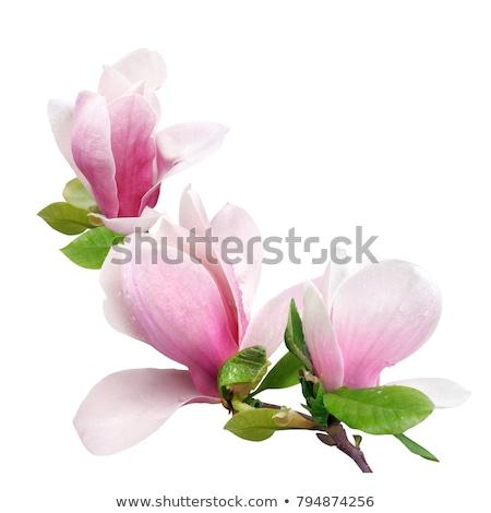 Foto stock: Belo · rosa · prímula · flores · branco · vaso