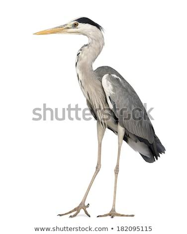 Gri balıkçıl kuş uzun keskin çim Stok fotoğraf © fouroaks
