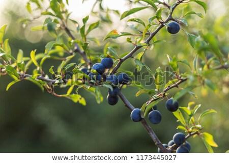 Blackthorn (Prunus spinosa) Stock photo © rbiedermann