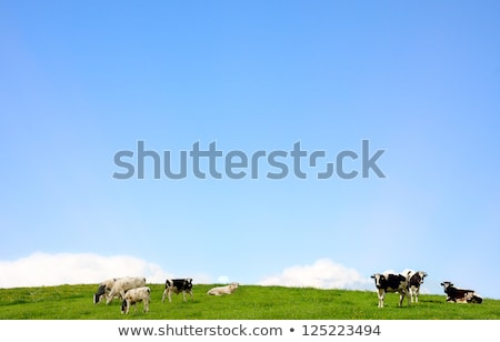 friesian milking cows in green pasture stock photo © pixelmemoirs
