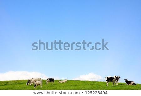 vacas · verde · naturaleza · granja · blanco - foto stock © pixelmemoirs