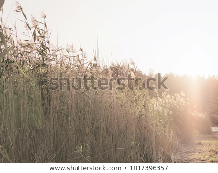 Reeds in backlit Stock photo © eltoro69