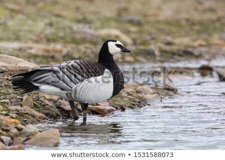 Close-up of a barnacle goose Stock photo © michaklootwijk