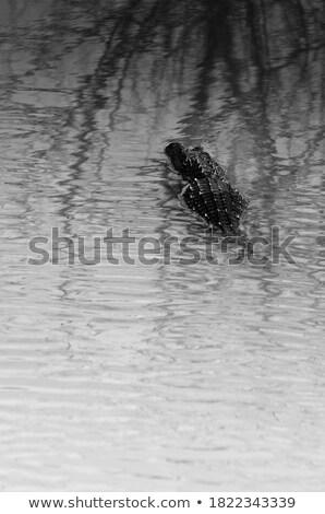 Caimán oscuridad americano lago tropicales escala Foto stock © saje