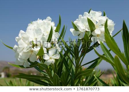White oleander against blue sky Stock photo © Anterovium