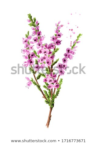 Bouquet of heather Stock photo © Es75