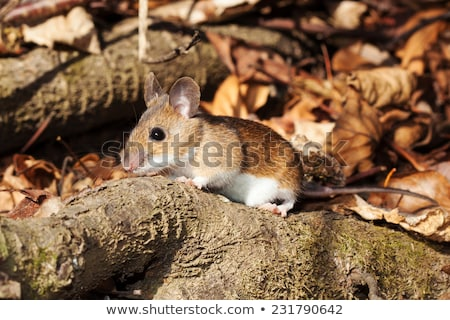 White footed mouse in spring Stock photo © icefront