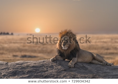 male lion with prey stock photo © achimhb
