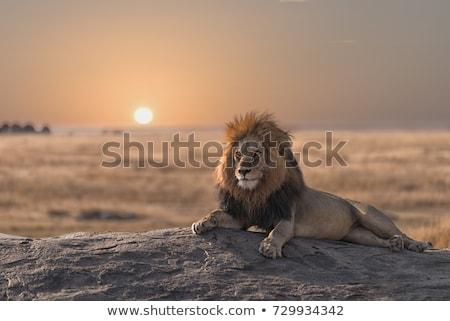 男性 ライオン 餌食 動物 高い 草 ストックフォト © AchimHB