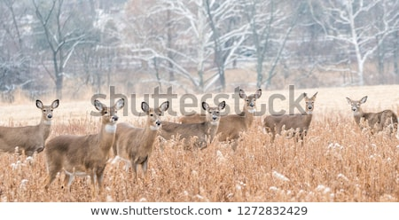 Cerfs alerter coup ontario Canada Photo stock © ca2hill