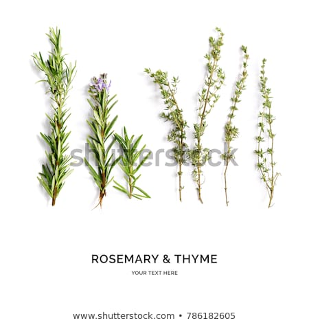 Single twigs of Thyme and Rosemary Stock photo © homydesign