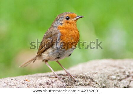 Robin perched on wall with green backround stock photo © rekemp